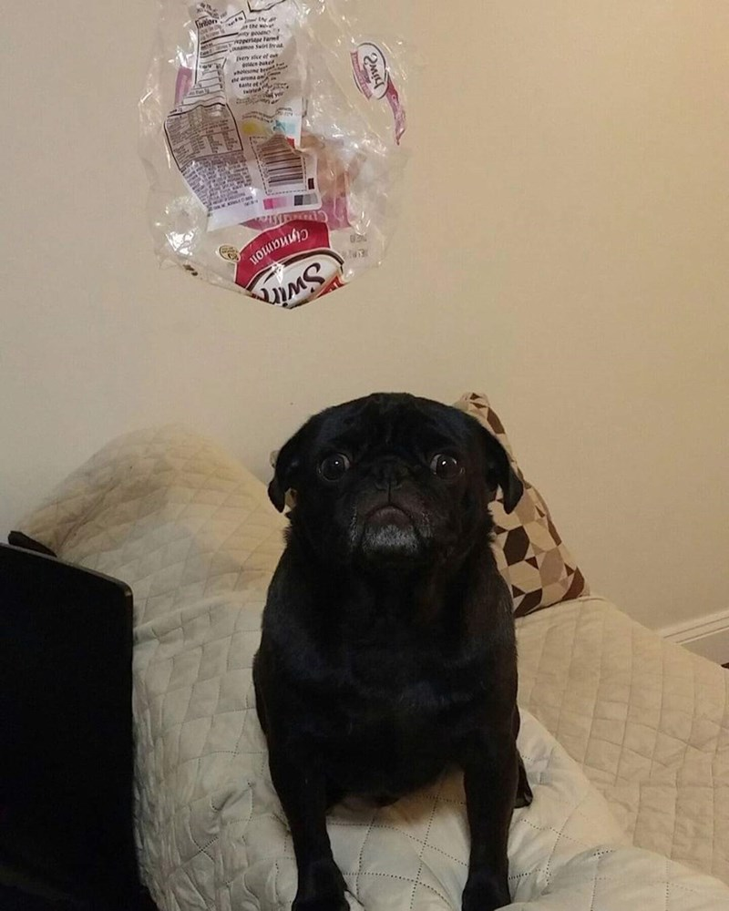 pug ate all the bread