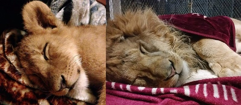 lambert the lion cant sleep without his blanket