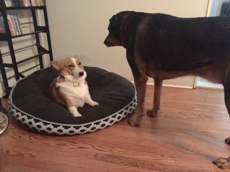 smug corgi steals bed from big dog