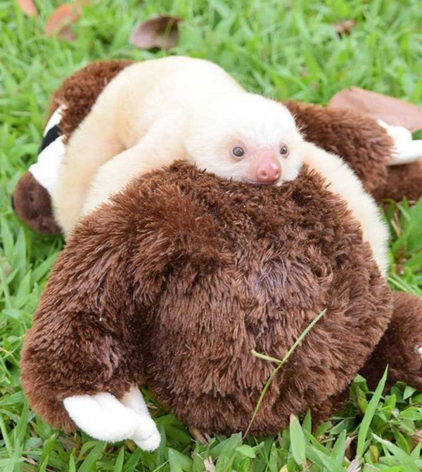 baby sloth cuddling plush sloth
