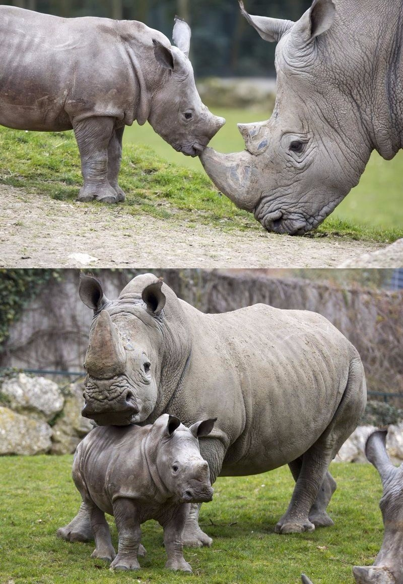 rhino calf makes its debut in france