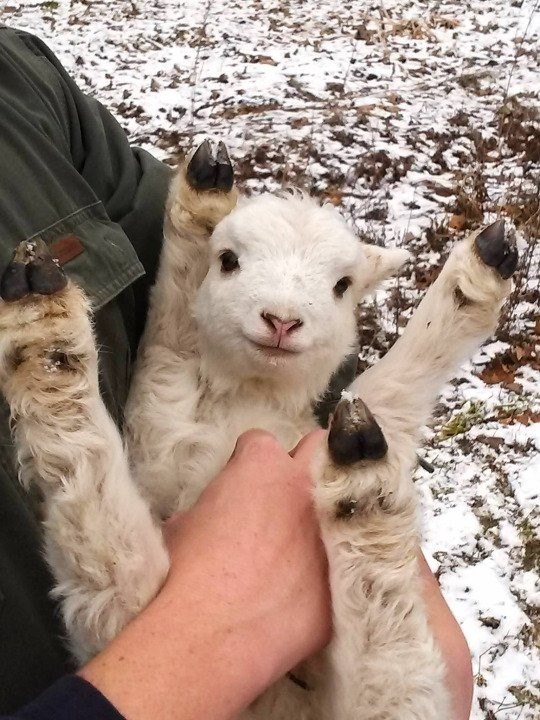 this little goat loves belly rubs