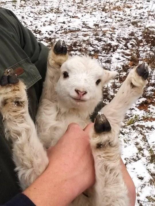 this little goat loves belly rubs