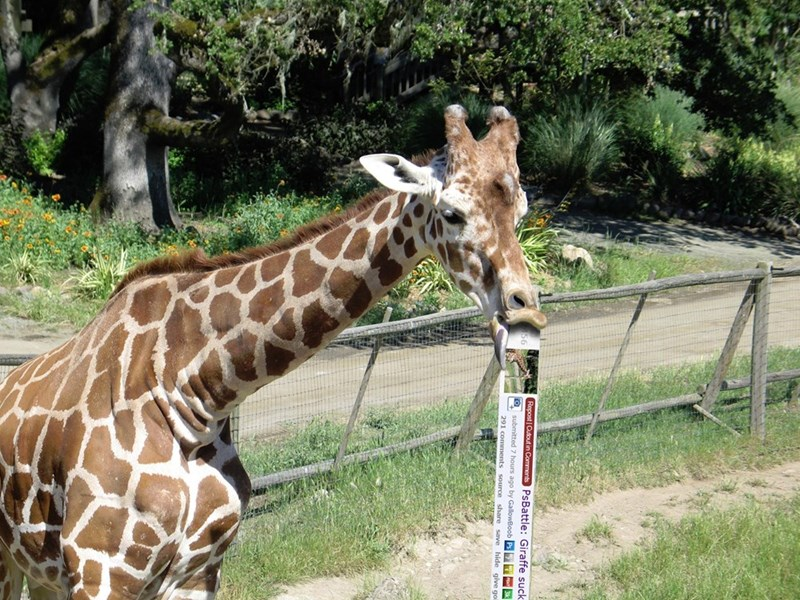 Giraffe - Repost Cutout in Comments PsBattle: Giraffe suck submitted 7 hours ago by GallowBoob Ps 3 291 comments source share save hide give go
