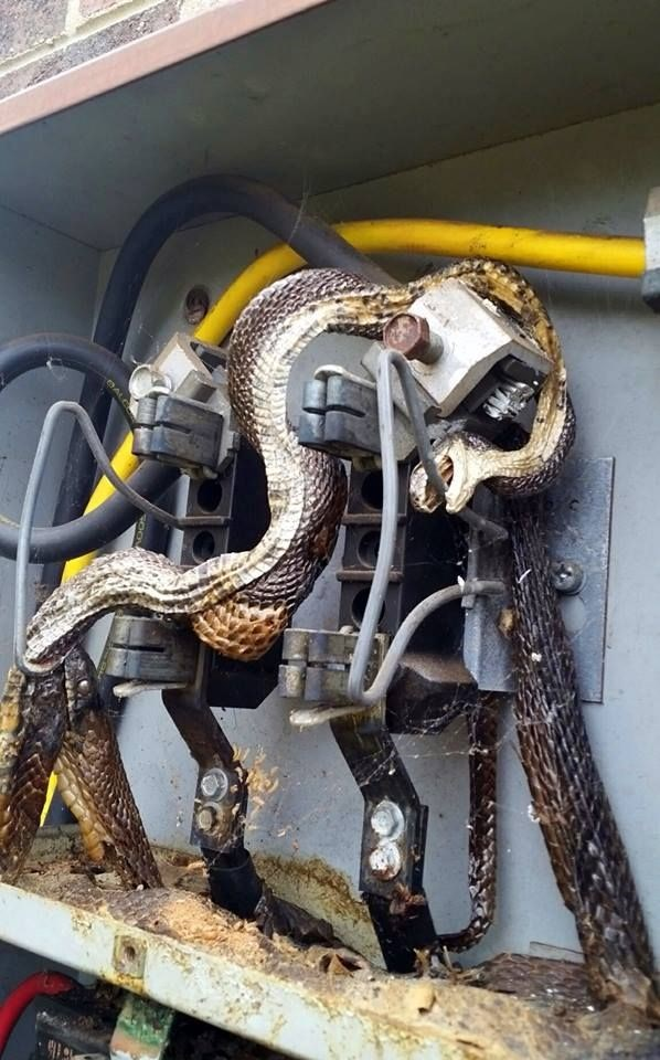 win metal AF snake kills snake trying to eat it by electrocuting them both