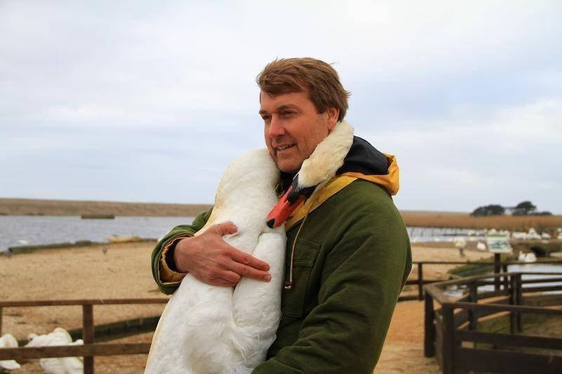 injured swan hugs human that helped it