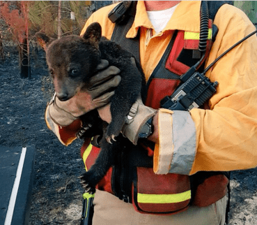cute bears rescue Firefighters Rescued a Baby Bear From a Fire so, of Course, They Named Him Smokey Junior