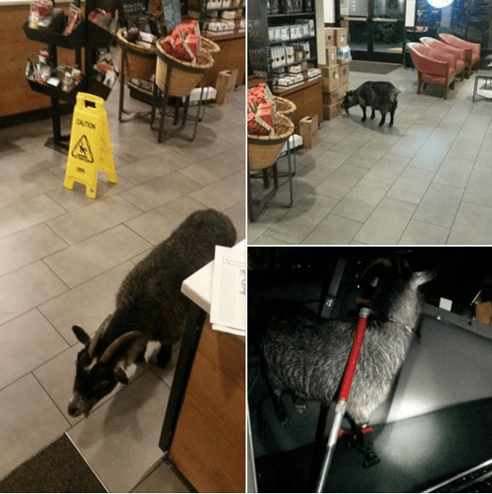goats escape starbucks This Goat Popped Into Starbucks for a Quick Pick-Me-Up After Making His Grande Escape