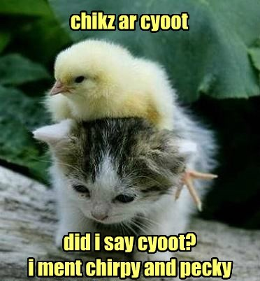 chicks kitten cute caption pecky - 8766762752