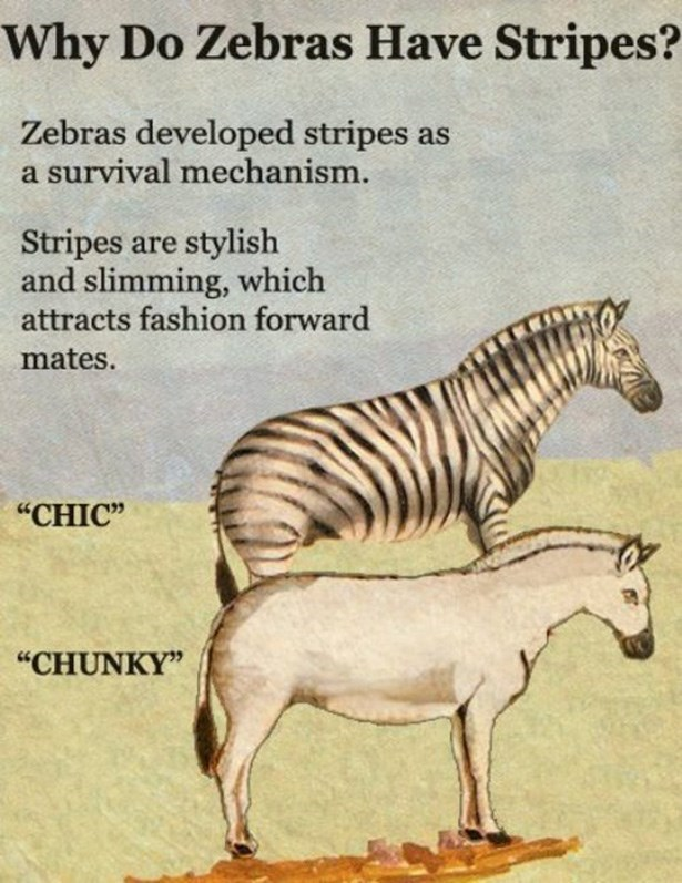 "Zebra - Why Do Zebras Have Stripes? Zebras developed stripes a survival mechanism. Stripes are stylish and slimming, which attracts fashion forward mates. ""CHIC"" ""CHUNKY"""