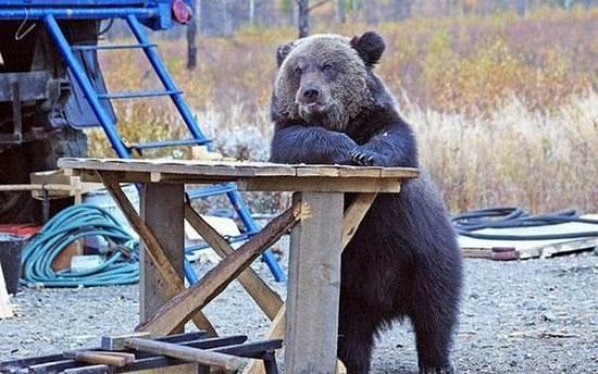 Barkeep!  The Biig Burley Black Bear @ the Bar is Brandishing a Beretta, Better Buy the Bruser a Bud Beer Before a Big Brawl Begins!