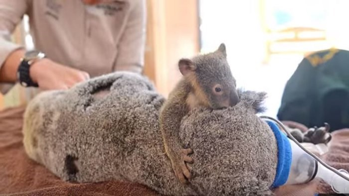 baby koala clings to mom while shes in surgery