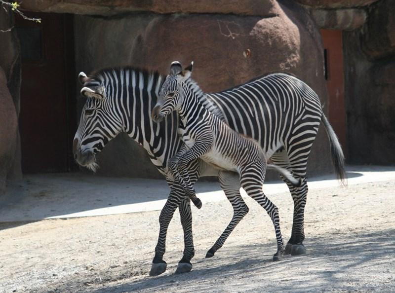 zebras zebra - 8768650752