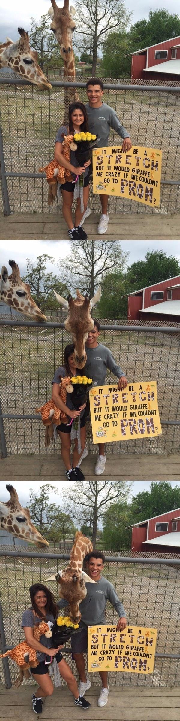 giraffe interrupts prom posal