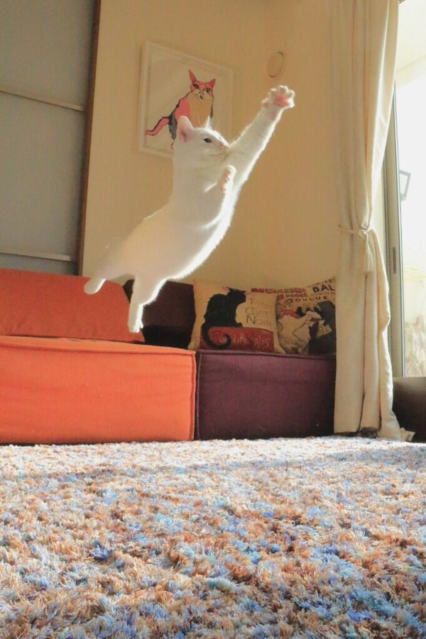 twitter,leaping,Cats,jumping