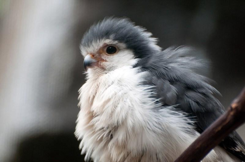 baby birds falcon - 8771763968