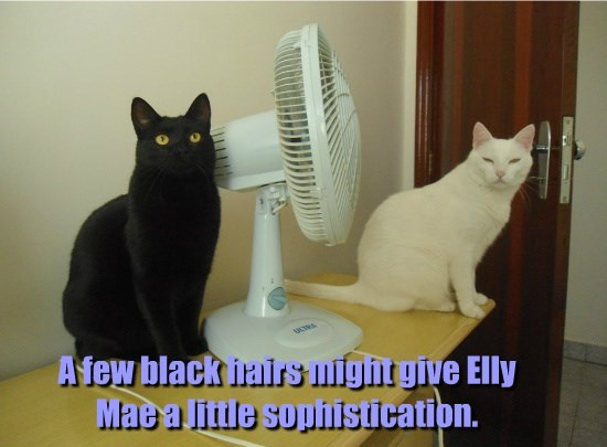 elly mae,hairs,sophistication,caption,Cats,black