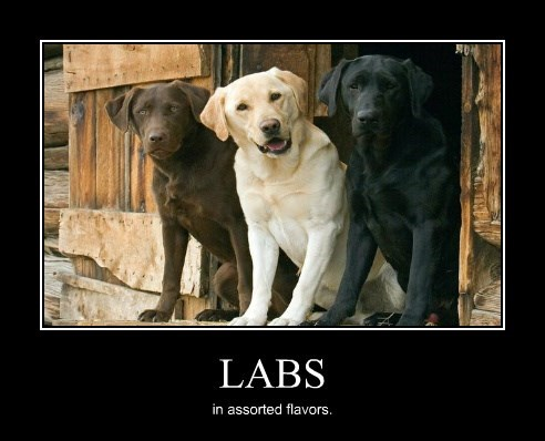 dogs labs Memes flavors - 8772025856