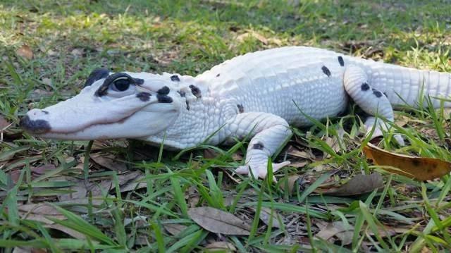 alligator dalmation animals - 8772092160