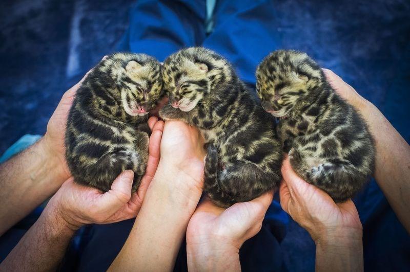 Clouded Leopard Cub Trio of Cuteness