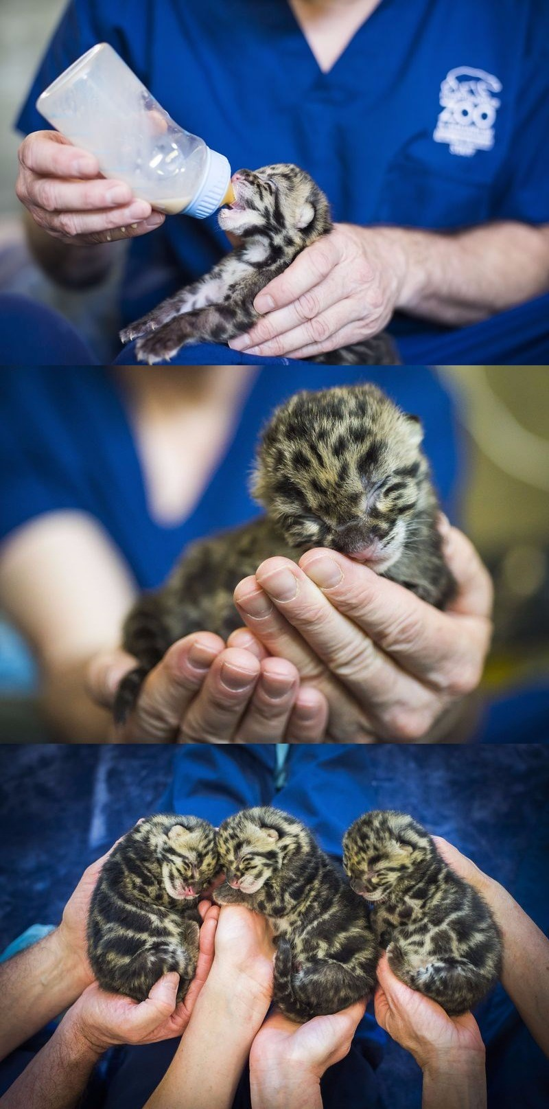 These Clouded Leopard Triplets Are the Cutest