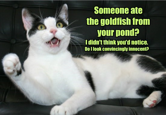 cat goldfish pond ate someone caption - 8772939776