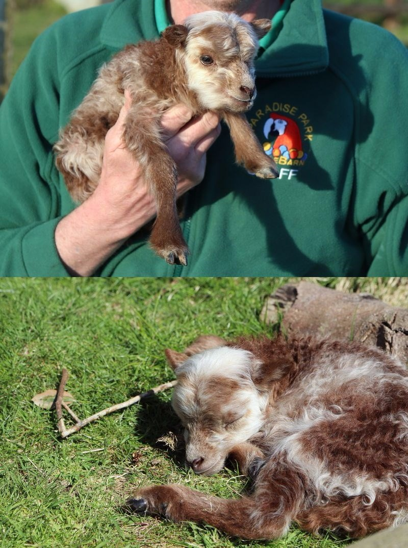 one of the smallest lambs in the world was just born at a park in the uk