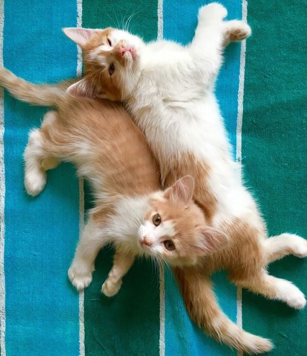adorable ginger kittens
