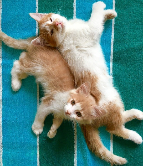 adorable ginger kittens