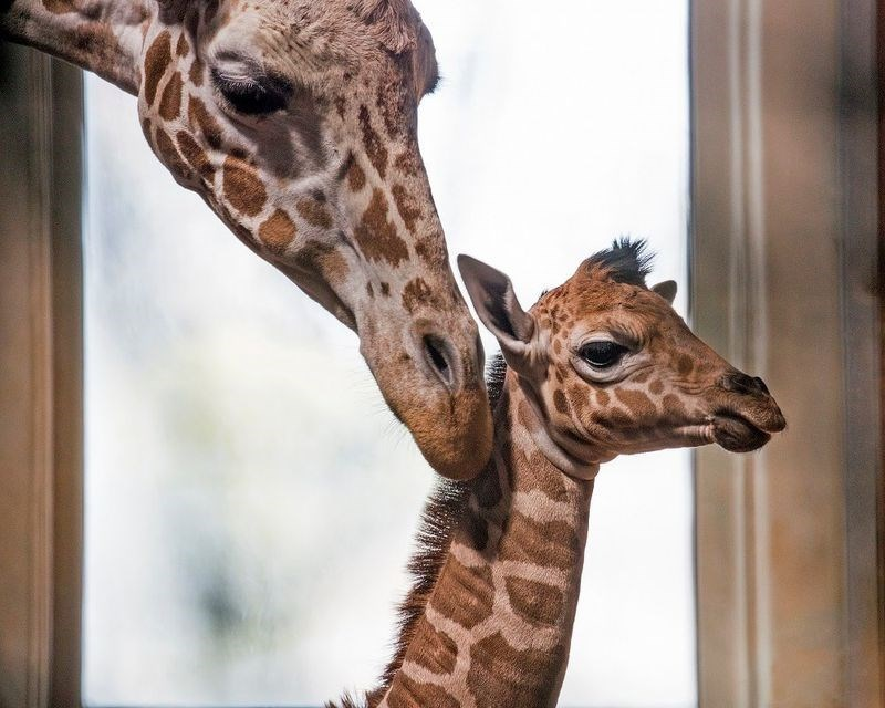 reticulated giraffe calf is so big yet so tiny
