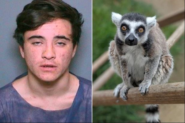 lemur stolen zoo found