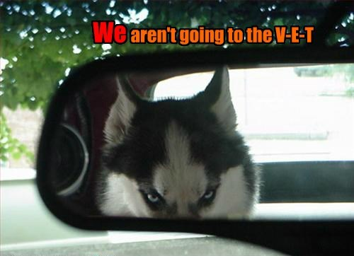 dogs,car,creepy,husky,vet,caption