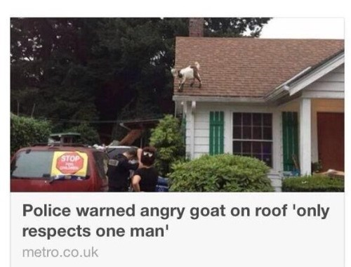 goats news respect He's Not Coming Down Until He's Ready