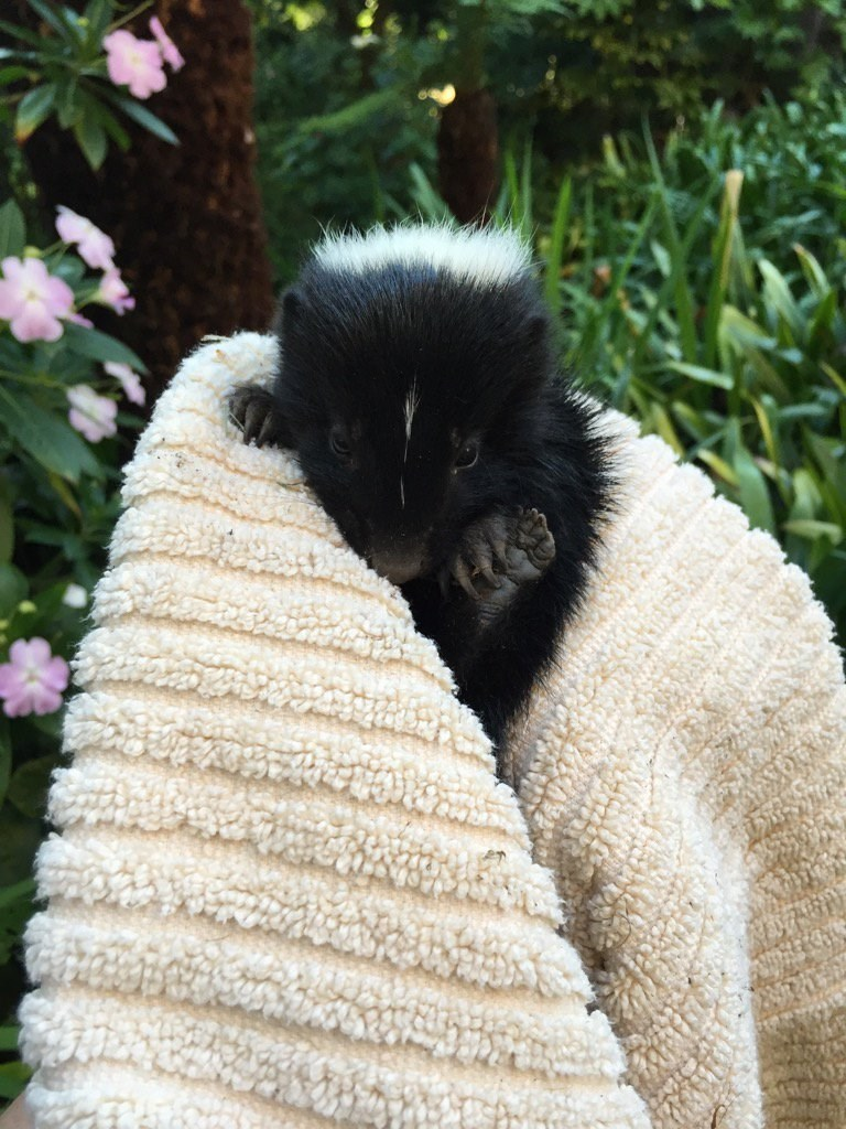 rescued skunk in a towel