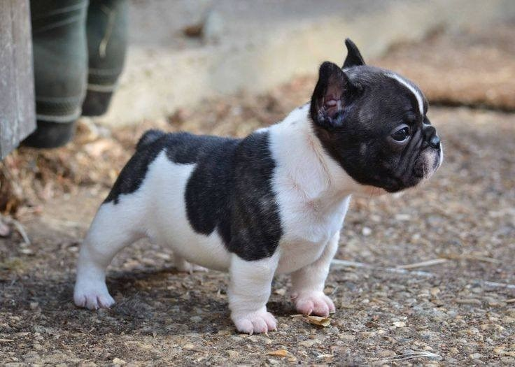 little tough guy frenchie