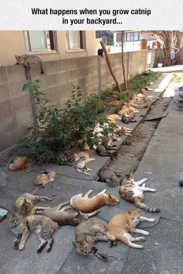 brb going to buy some catnip plants