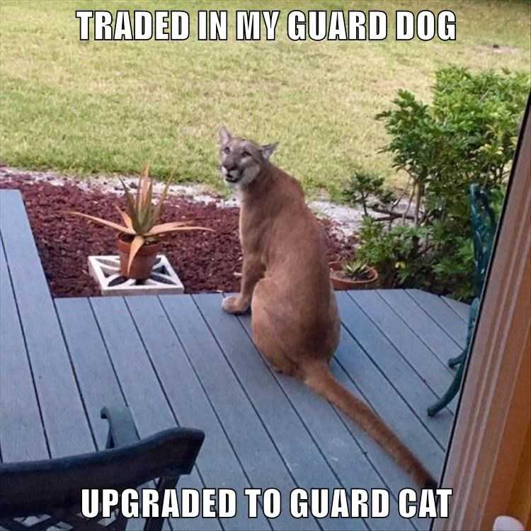 mountain lion,cougar,guard,caption