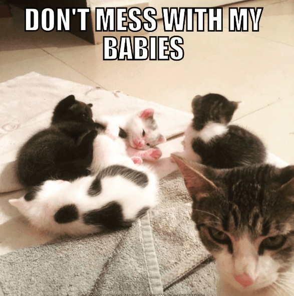 Cat - DON'T MESS WITH MY BABIES