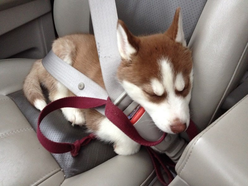 seatbelt dogs puppy car husky love