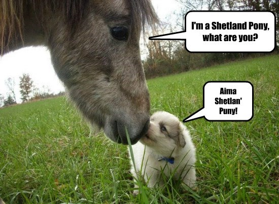 I'm a Shetland Pony, what are you? Aima Shetlan' Puny!