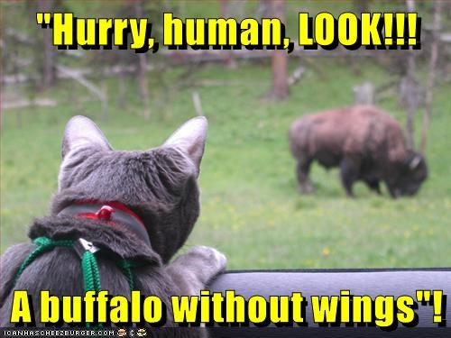 """Hurry, human, LOOK!!! A buffalo without wings""!"