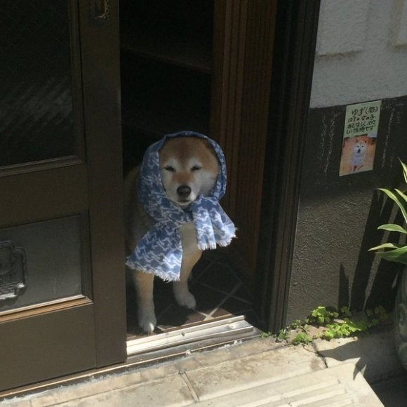 granny shiba wants to get a good look at ya