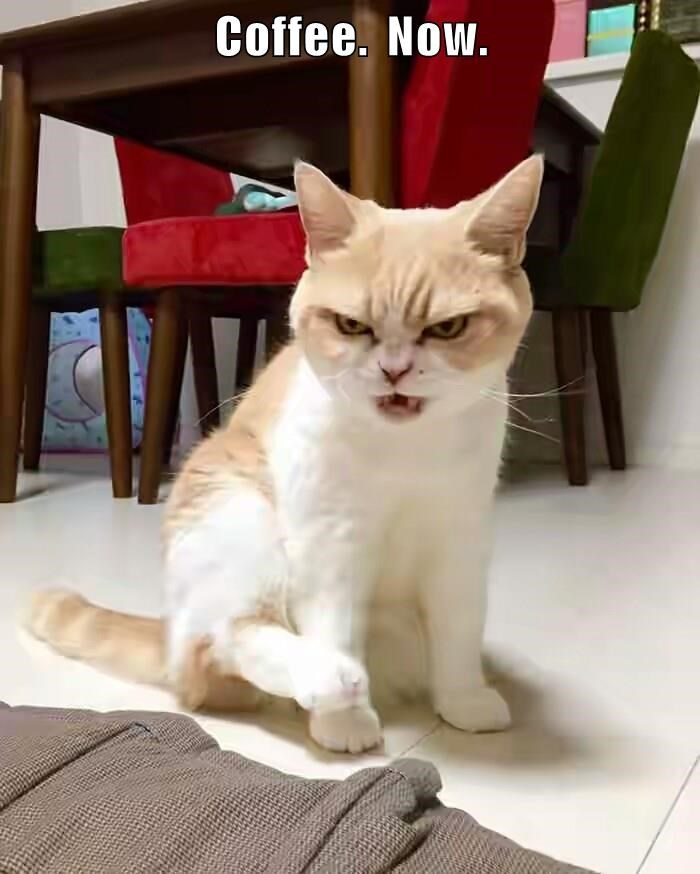 animals cat now coffee caption - 8796395776