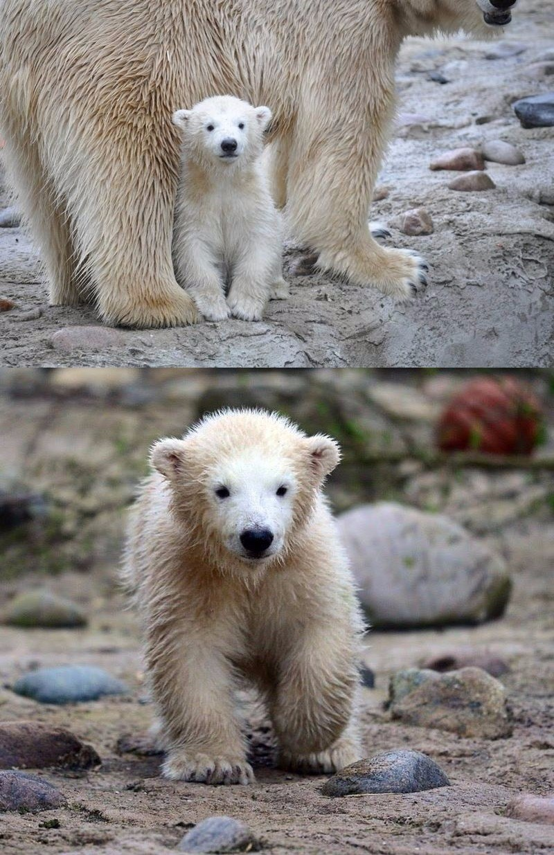 germanys new polar bear cub sure is a cutie