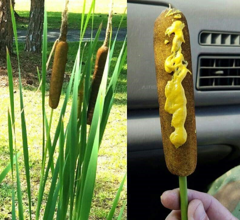 image trolling corn dog Ever Wonder Where Corn Dogs Come From?