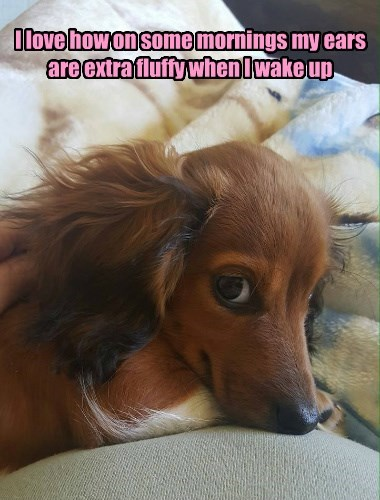 caption dogs ears Fluffy mornings girl - 8796749312