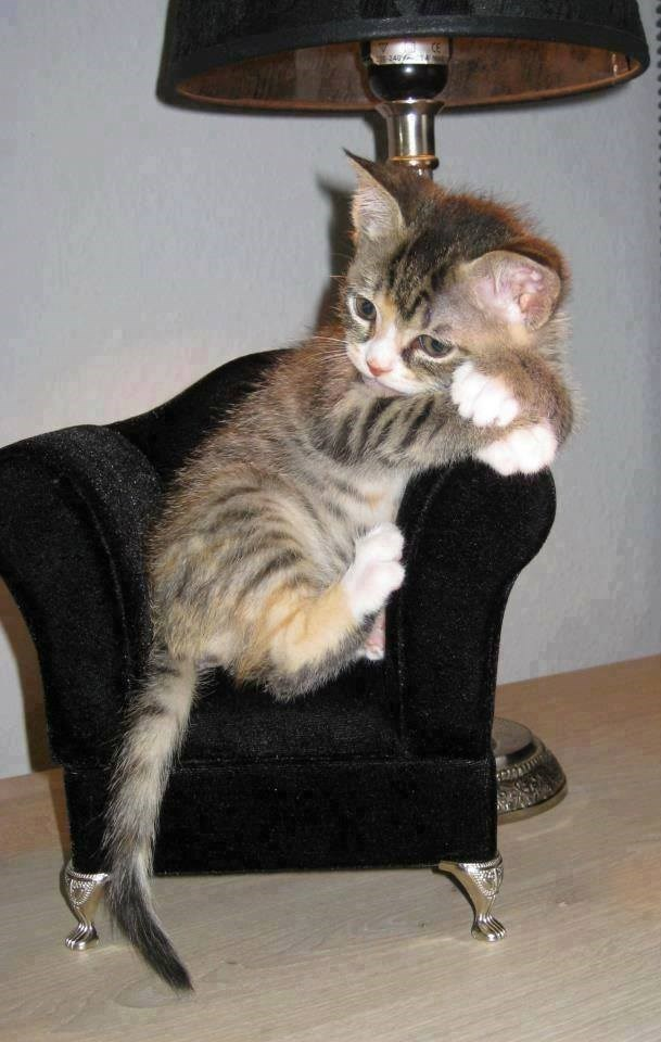 giant kitten or really tiny chair