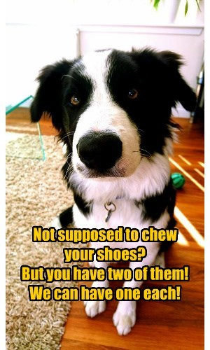 Not supposed to chew your shoes? But you have two of them! We can have one each!