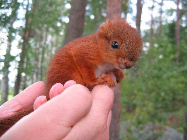 little ginger squirrel