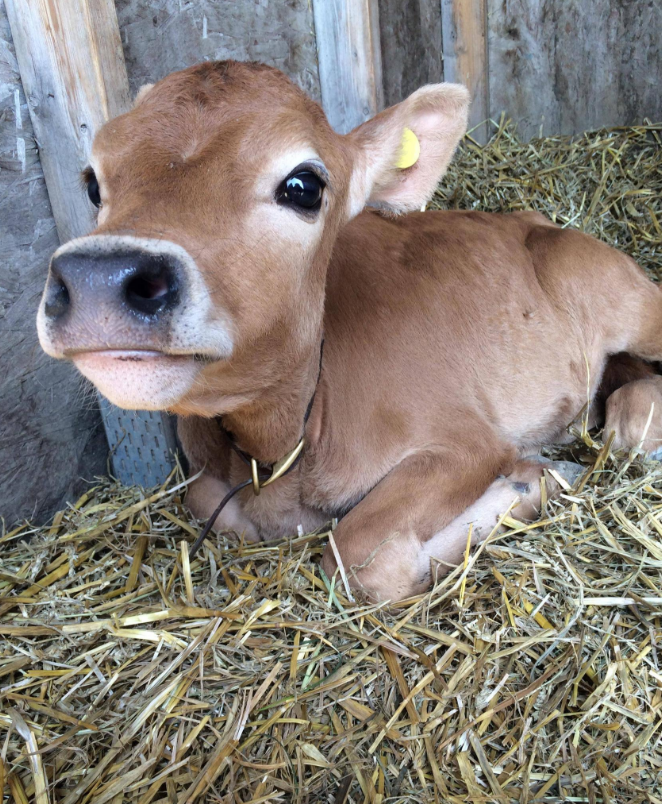 cute little calf